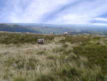 在小山的三只绵羊 免版税库存照片