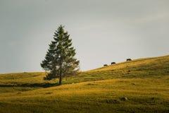在小山的三头母牛在喀尔巴阡山脉冠上 免版税图库摄影