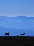 在小山的三头驴 免版税库存照片