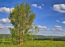 在小山的上面的三个桦树 库存照片