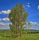 在小山的上面的三个桦树 库存图片