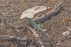 在小山的东部抓住衣领口的蜥蜴 免版税库存照片