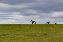 在小山的两匹马在新的森林里冠上 免版税库存图片