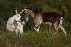 在小山的两只山羊战斗 免版税库存图片