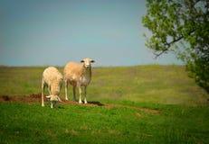 在小山的两只绵羊 库存照片