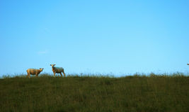 在小山的两只绵羊 免版税库存照片