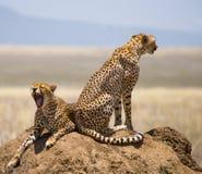 在小山的两头猎豹在大草原 肯尼亚 坦桑尼亚 闹事 国家公园 serengeti 马赛马拉 免版税库存照片