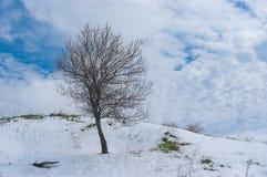 在小山的偏僻的开花的杏树在雪风暴以后在4月 库存图片