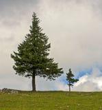在小山的偏僻的杉树 免版税库存照片