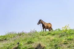 在小山的健康马 免版税库存图片