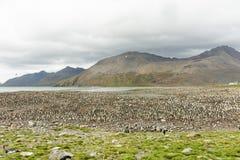 在小山的冠的企鹅国王殖民地与海洋和山的在距离 库存图片