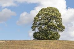 在小山的唯一成熟树Skylined 免版税库存图片