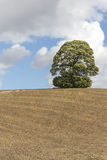 在小山的唯一成熟树Skylined 图库摄影