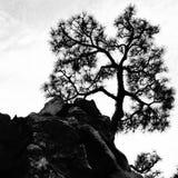 在小山的唯一杉树 库存照片