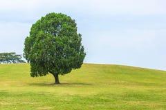 在小山的唯一树在韩国 免版税库存照片