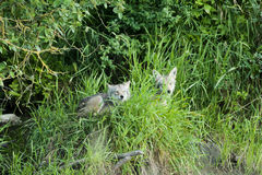 在小山的土狼 库存图片