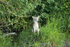 在小山的土狼 免版税库存图片