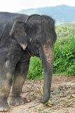 在小山的大象在普吉岛 免版税图库摄影