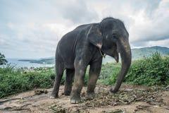 在小山的大象在普吉岛 图库摄影