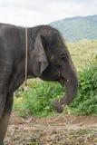 在小山的大象在普吉岛 免版税库存图片