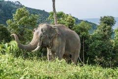 在小山的大象在普吉岛 免版税库存照片