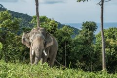 在小山的大象在普吉岛 库存照片