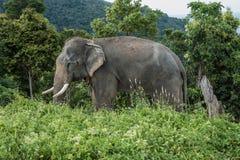 在小山的大象在普吉岛 库存图片