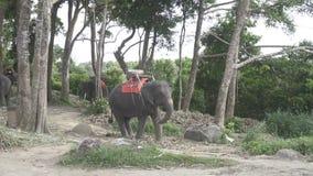 在小山的大象在普吉岛 股票录像