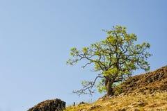 在小山的孤立树在凯瑟琳小河附近在哥伦比亚河唛哥 库存照片