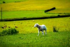 在小山的小羊羔 库存图片
