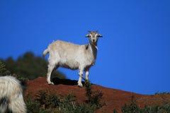 在小山的山羊 库存照片