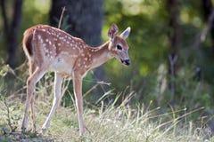 在小山的幼小鹿 免版税库存照片