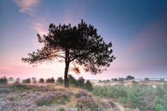 在小山的杉树与在日出的开花的石南花 免版税库存图片
