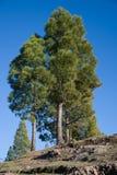 在小山的杉树 库存照片