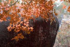在小山的槭树 库存照片