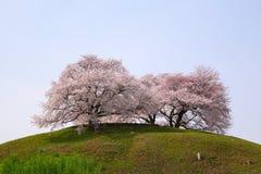 在小山的樱桃树 库存照片