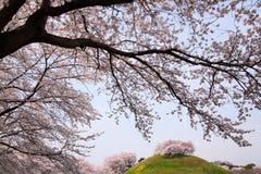 在小山的樱桃树 库存图片