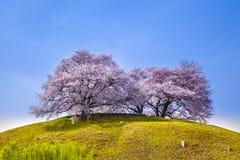 在小山的樱桃树 免版税库存照片