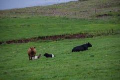 在小山的母牛 库存照片