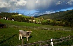 在小山的母牛 免版税库存图片