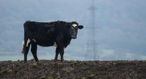 在小山的母牛 免版税库存照片