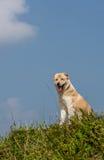 在小山的狗 免版税图库摄影