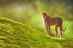 在小山的猎豹 免版税库存照片