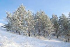 在小山的积雪的杉木 免版税库存图片
