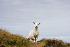 在小山的绵羊 免版税图库摄影