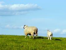 在小山的羊羔和母亲绵羊 免版税库存图片