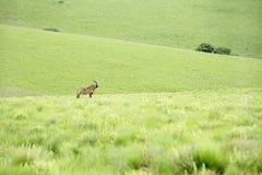在小山的软羊皮的羚羊 免版税库存照片