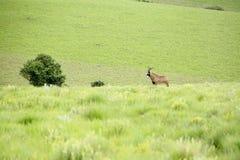 在小山的软羊皮的羚羊 库存图片