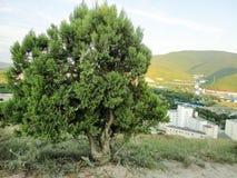 在小山的针叶树孤立树 图库摄影