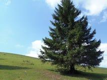 在小山的针叶树 免版税图库摄影